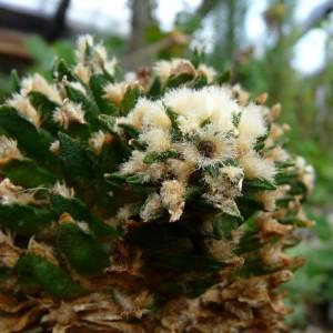 ariocarpus-agavoides