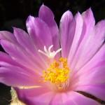 Ariocarpus fissuratus v. lloydii - květ