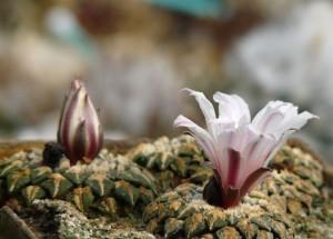 ariocarpus-kotschoubeyanus-v-albiflorus2