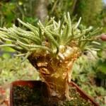 Avonia quinaria ssp. alstonii - červené poupě