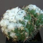 Coryphantha tripugionacantha