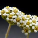 Crassula ausensis ssp. titanopsis