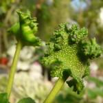 Dorstenia argentata - květ