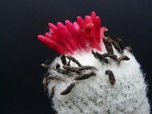Epithelantha sp. Coahuila