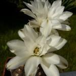 Gymnocalycium ragonesii květ