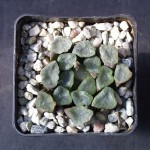 Haworthia truncata v. maughanii