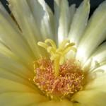 Leuchtenbergia principis - květ
