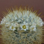 Mammillaria cowperae