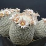 Mammillaria egregia