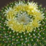 Mammillaria marxiana