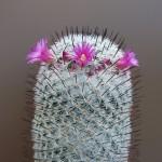 Mammillaria meissnerii