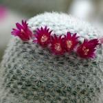 Mammillaria monticola