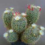 Mammillaria painteri