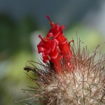 Mammillaria pondii