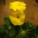Pachypodium rossulatum