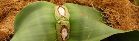 Welwitschia mirabilis - živoucí fosilie