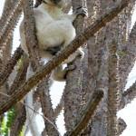 Sifaka malý (Propithecus verreauxi)