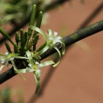 Adenia firingalavensis