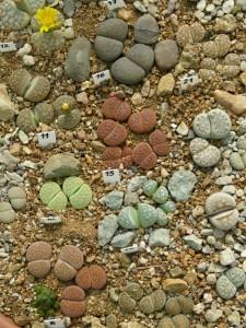 Lithops plants.