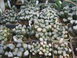 Collection of Haworthias.